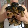 щенки  йорка в Пинске