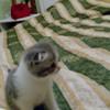 Вислоухие котята в Пинске