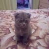 Продам вислоухую шотландскую кошечку в Пинске