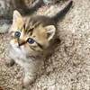 Шотландские котята в Пинске