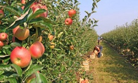 Пинчан приглашают на сбор яблок