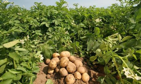 Беларусь впервые импортирует картофель во время уборки собственного урожая